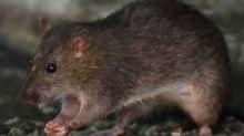 Por qué la pandemia está cambiando el comportamiento de las ratas