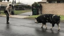 California Cops Secure Escaped Pig By Luring It Home With Doritos
