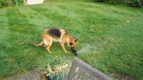 German Shepherd highly entertained by water sprinkler
