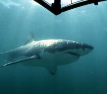 Largest great white shark ever recorded seen feasting on dead sperm whale near Hawaii