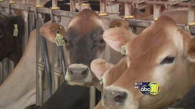 Heat can affect how much milk cows produce