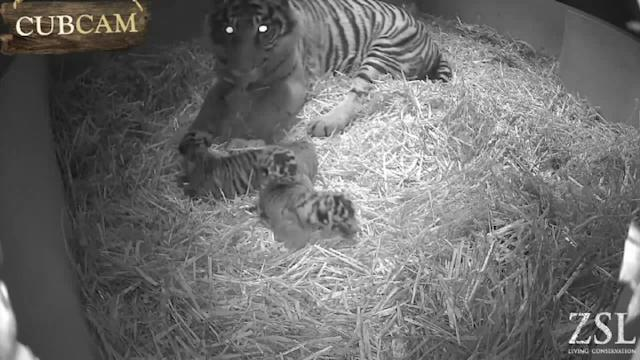 Cute cubs: Rare baby tigers born in London Zoo