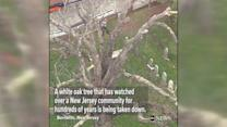 600-year-old oak tree torn down in New Jersey