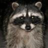 Rocco Raccoon