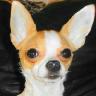 Chihuahua Addict