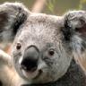 Krazy Koala