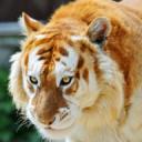 Golden Tiger Boxing Inc.