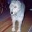 bdwolfhound