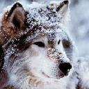 Lady Silver Rose * Wolf