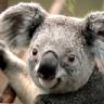 Koala Toure