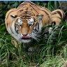 Tiger FraN