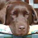 millypeed my choccie Lab
