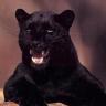 Random Panther