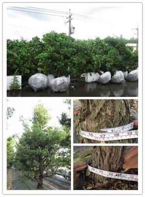 【海灣園藝】蘭嶼羅漢松(自然型15年以上老樹) 全年長綠