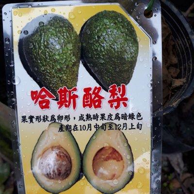 水果苗 ** 哈斯酪梨 ** 4吋盆/高30-60cm/  量少快搶【花花世界玫瑰園】WU