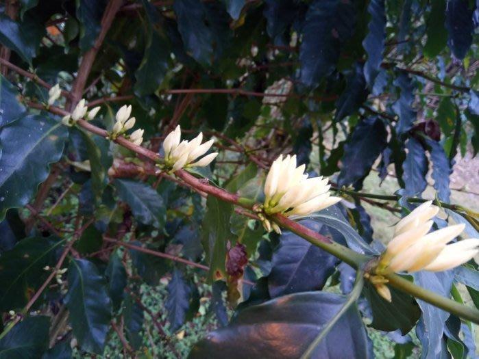 《古坑3號咖啡園》自然農法的 阿拉比卡種 咖啡幼苗約3年生 每顆70元