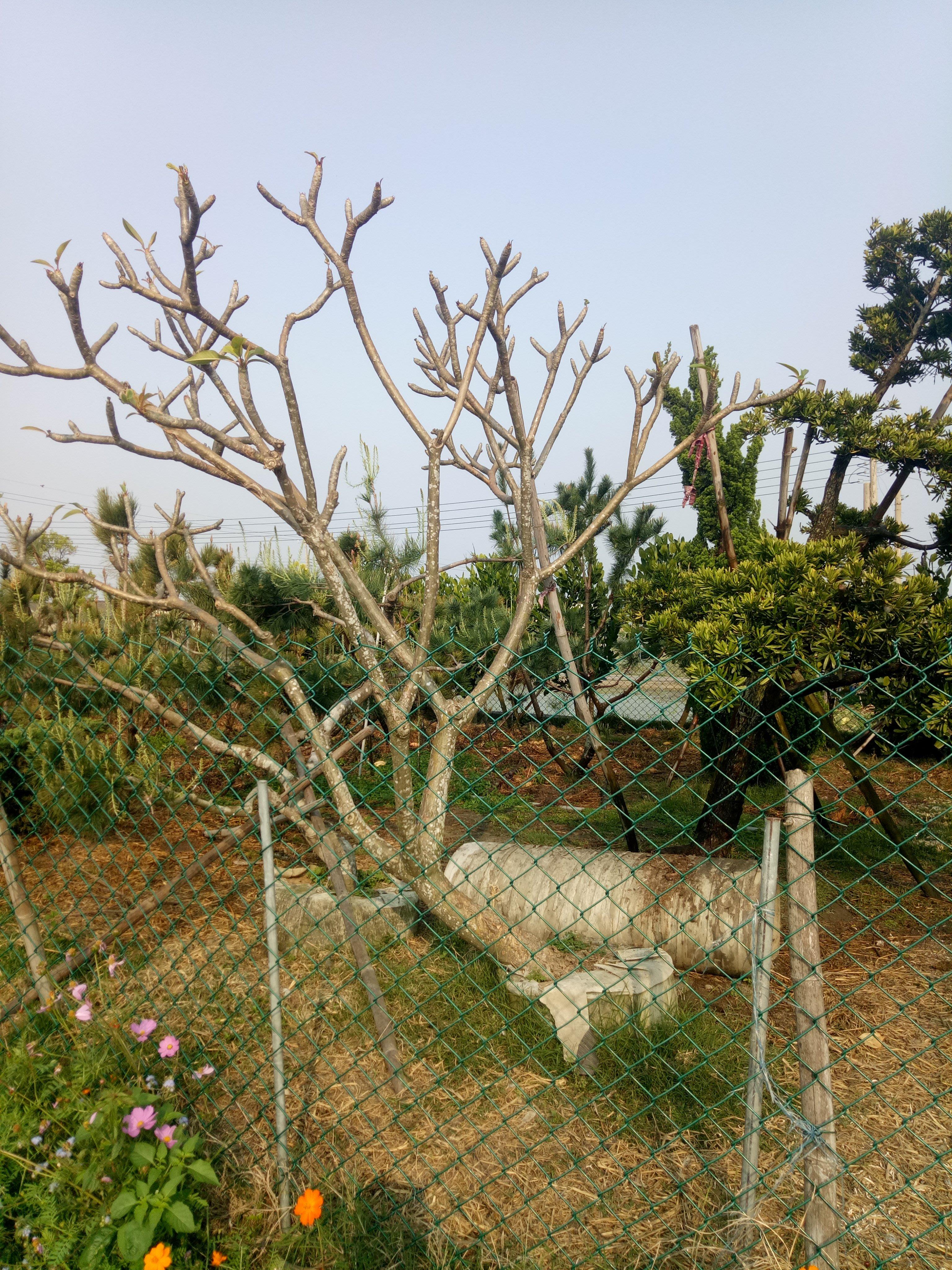 雞蛋花樹.緬梔.黃花