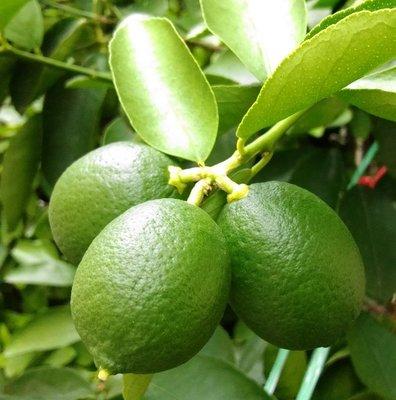 檸檬精油 100ml/瓶 產地義大利 590元 Lemon