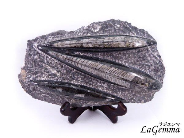 【寶峻水晶】 鸚鵡螺化石 直角石化石片FO-7/ 1172g  Orthoceras 奧陶紀 古生物動物化石 觀賞藝品