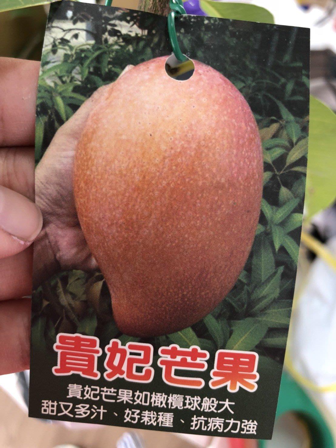 [華順農園] 貴妃芒果嫁接苗150元 (自取價優惠130元)