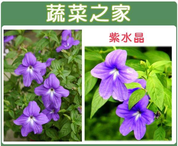 【蔬菜之家】H18.紫水晶種子20顆(藍色,高25~40cm.花卉種子)