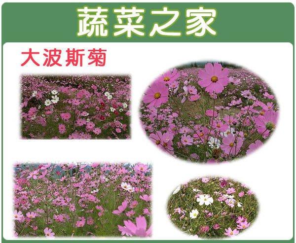【蔬菜之家】H08.墨西哥大波斯菊種子600顆(顏色綜合, 美化綠化環境作物.花卉種子)