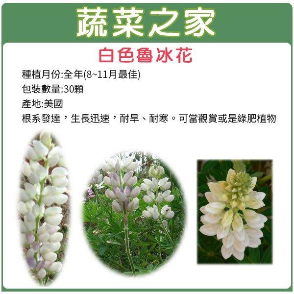 【蔬菜之家】H06.白色魯冰花(旺花白色)種子30顆(根系發達,生長迅速,耐旱、耐寒。可當觀賞或是綠肥植物.花卉種子)