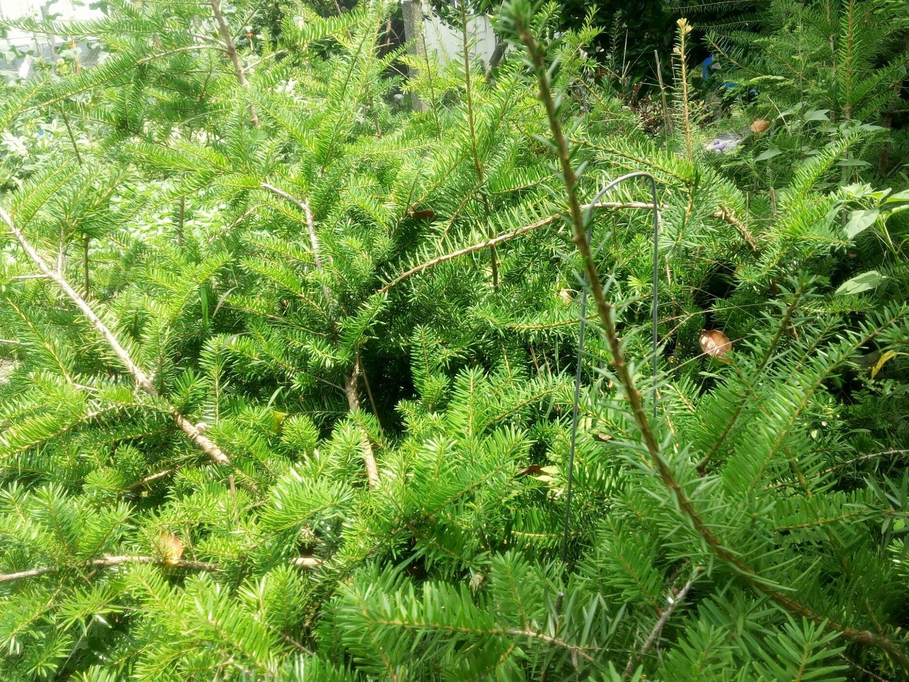 大武油杉 粗皮油杉 70至100cm  現貨挑選 8寸美植袋