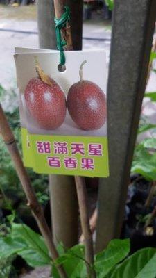 百果種苗園※甜滿天星百香果※新品種上架