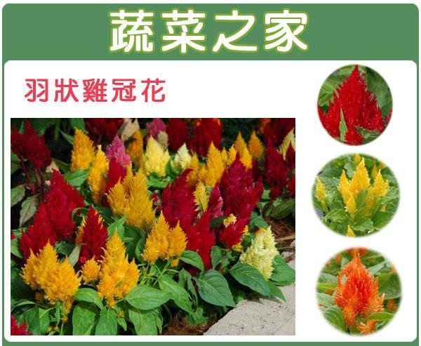 【蔬菜之家】H23.羽狀雞冠花種子35顆(混合色,高40~60cm.花卉種子)