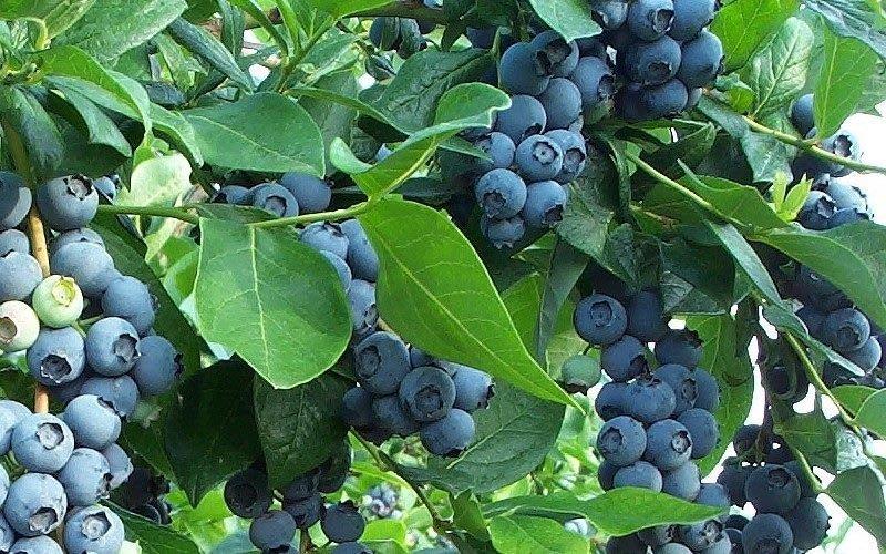 南方暖地藍莓種子