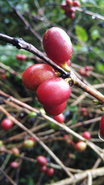 《古坑3號咖啡園》自然農法的 阿拉比卡種 咖啡幼苗約2年生 每顆35元