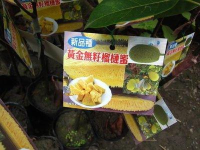 ╭*田尾玫瑰園*╯新品種水果苗-(黃金無籽榴槤蜜)