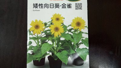 299免運 金雀 矮性向日葵 種子 花壇 盆栽