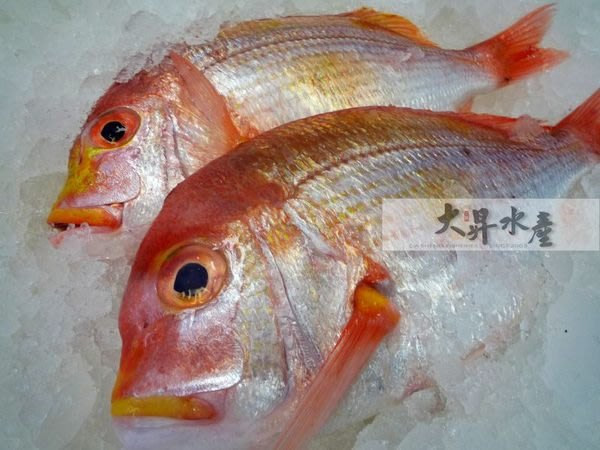 【大昇水產】寶島台灣現流冰鮮魚_赤鯮/青雞/馬頭/加魶/海午仔/海鱸(非養殖)