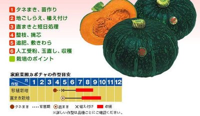 ↖日本栗坊    栗子南瓜 (種子) 特價↗