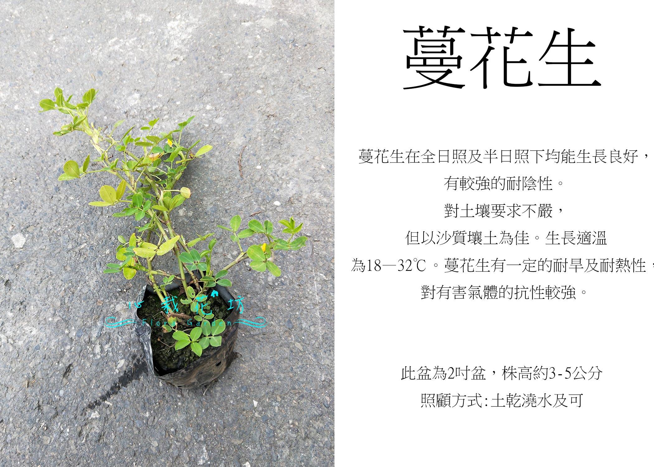 心栽花坊-蔓花生/下一件代表5株/3吋/地被植物/綠化植物/綠籬植物/售價70特價50