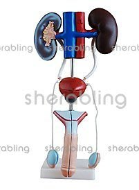(ME-B083)男性泌尿生殖系統解剖模型