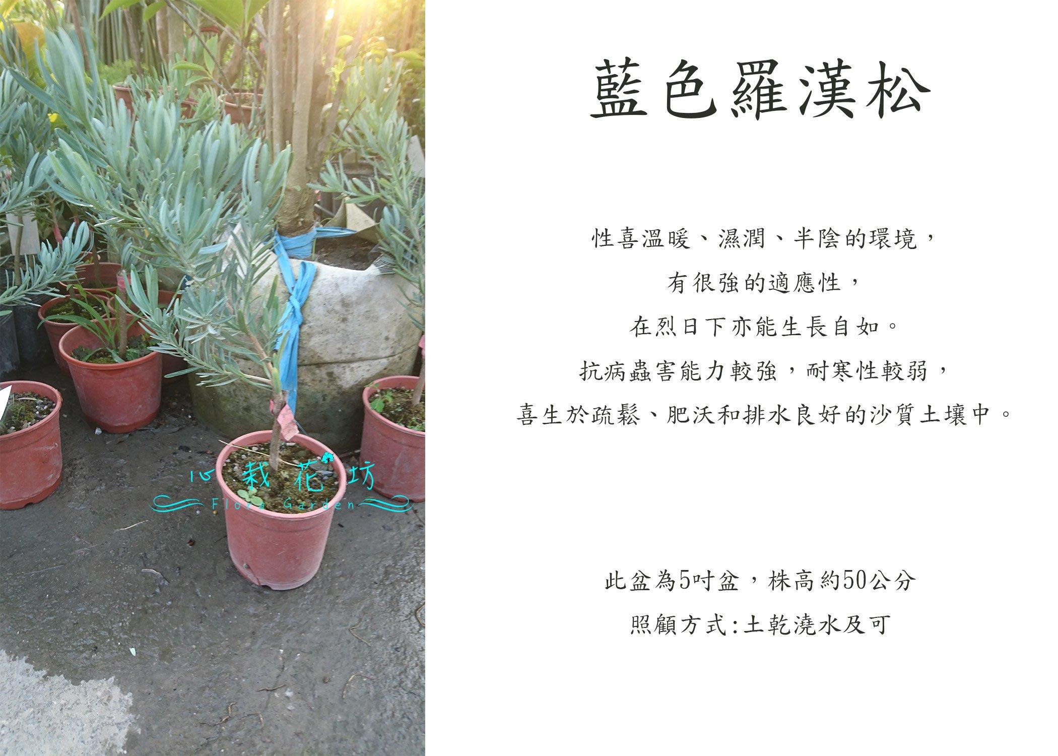 心栽花坊-藍色羅漢松/藍羅漢松/藍芽羅漢松/6吋/嫁接苗/松杉柏檜/綠化植物/綠化環境/售價460特價