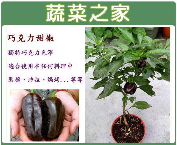 【蔬菜之家】G42.巧克力甜椒種子3顆(美國進口種子.巧克力色,可當料理或擺設.蔬菜種子)