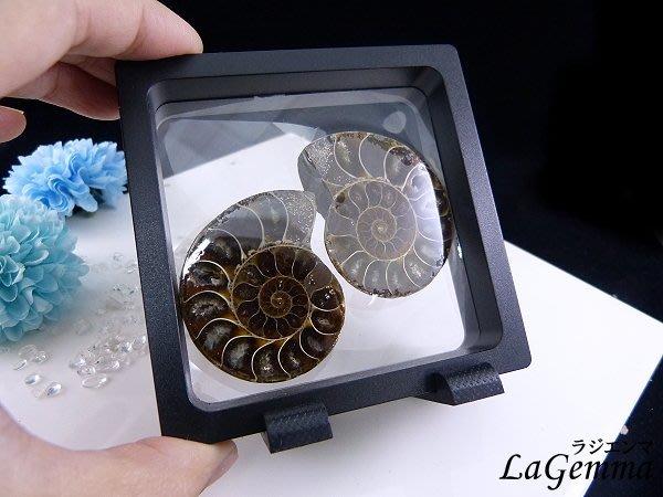 ☆寶峻晶石館☆一對附漂浮相框339元~鸚鵡螺化石 迷你斑彩螺(Ammolite) 古生物動物化石 特色禮品