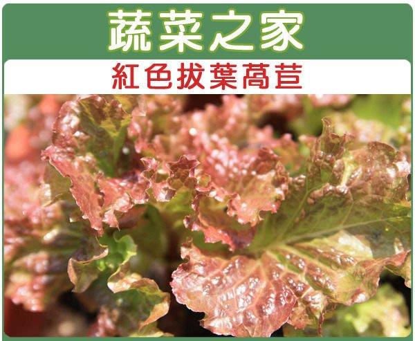 【蔬菜之家】A31.紅葉拔葉甜萵苣種子800顆(拔葉A菜.紫褐色葉.甜度高.質爽脆.蔬菜種子)