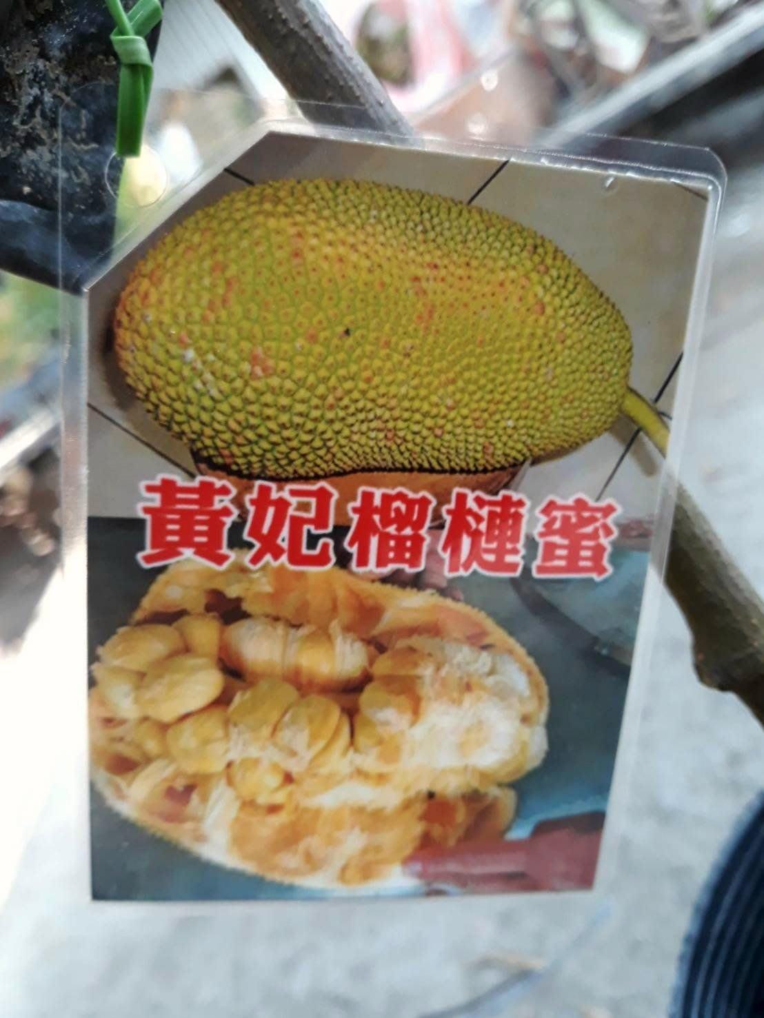 黃妃榴槤蜜  4吋盆 30-40公分