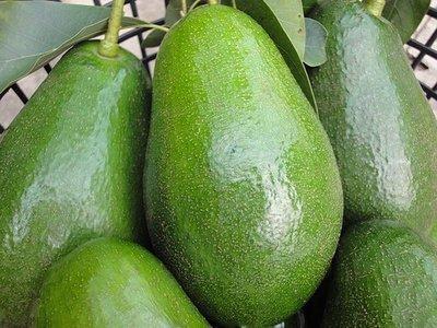 田氏酪梨【最新品種-進口嫁接苗】高品質+包生+包甜【嘉義熱帶果樹】 中生品種