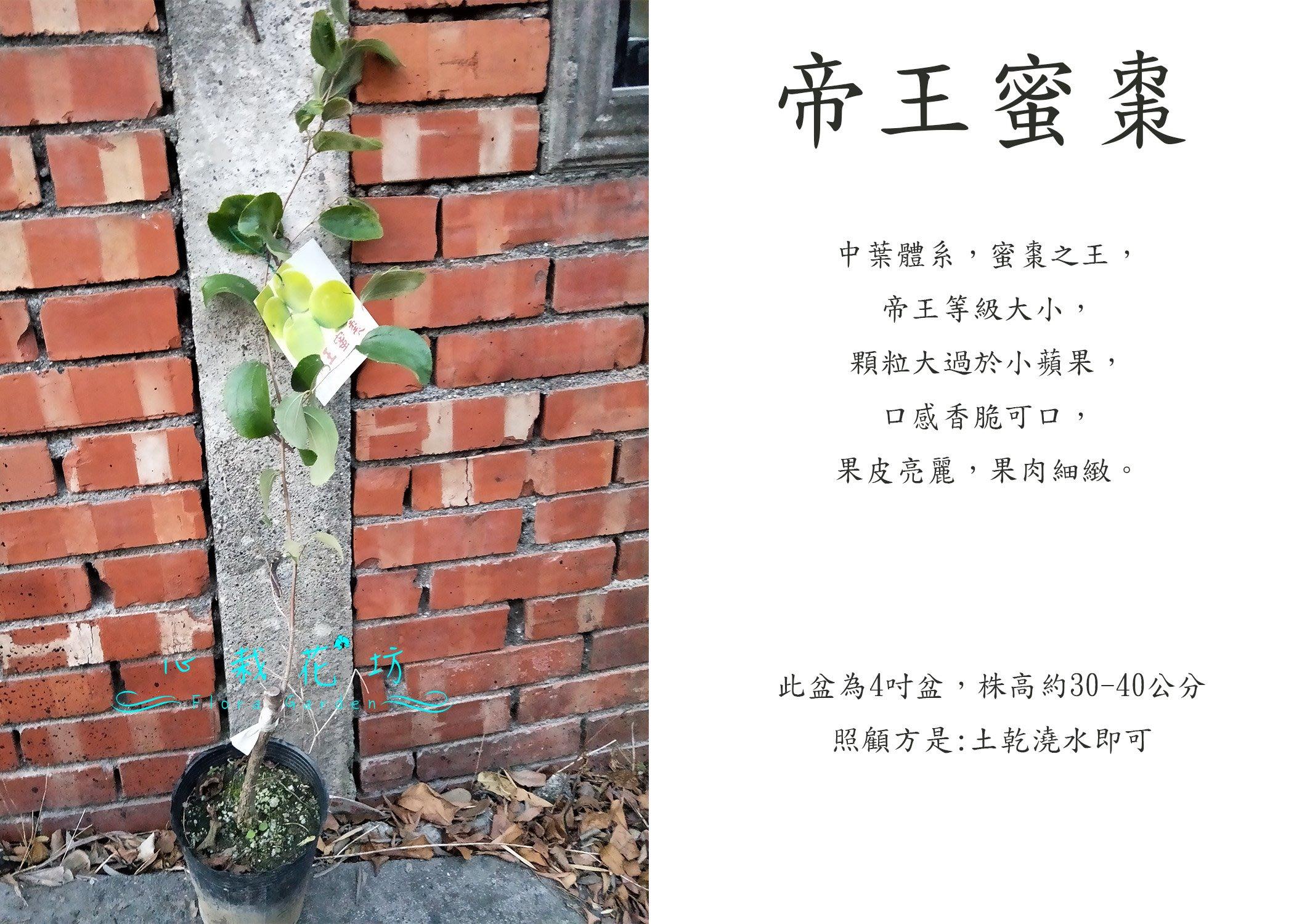 心栽花坊-帝王蜜棗/蜜棗/嫁接苗/水果苗/售價360特價300