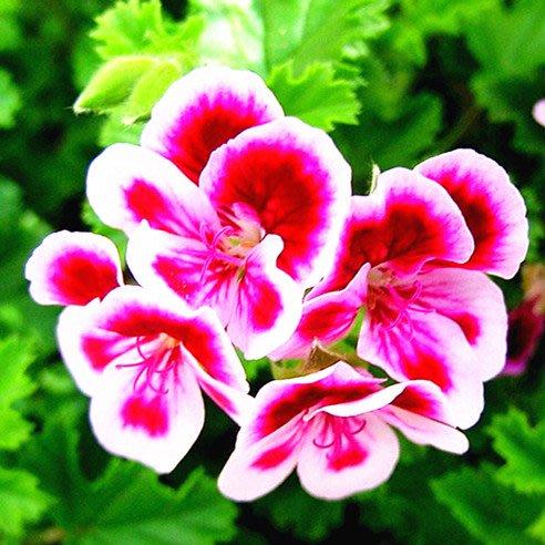 10ml 純玫瑰天竺葵精油 Geranium 純質精油 玫瑰天竺葵 Pelargonium Essential Oil