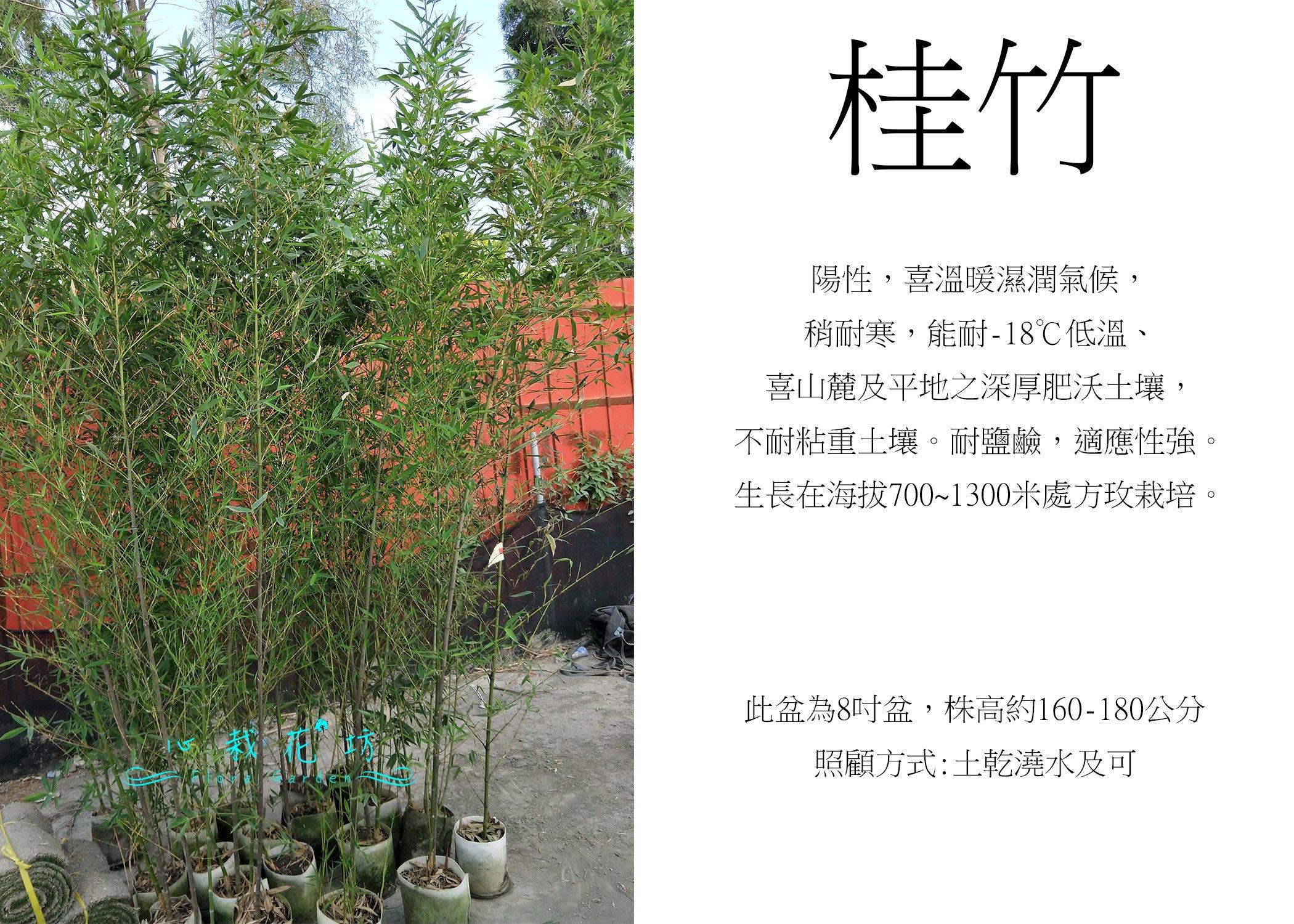 心栽花坊-桂竹/貴竹/富貴竹/竹子/6吋盆/綠化植物/綠籬植物/售價360特價300