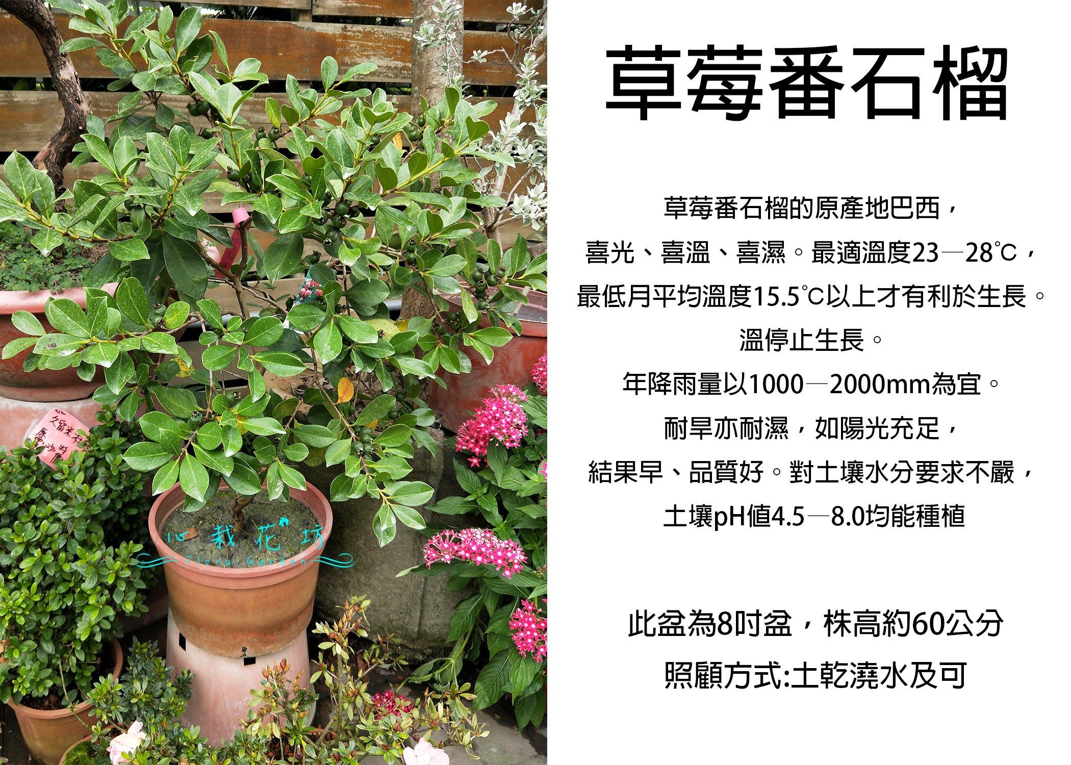 心栽花坊-草莓番石榴/8吋/番石榴/水果苗/售價360特價300