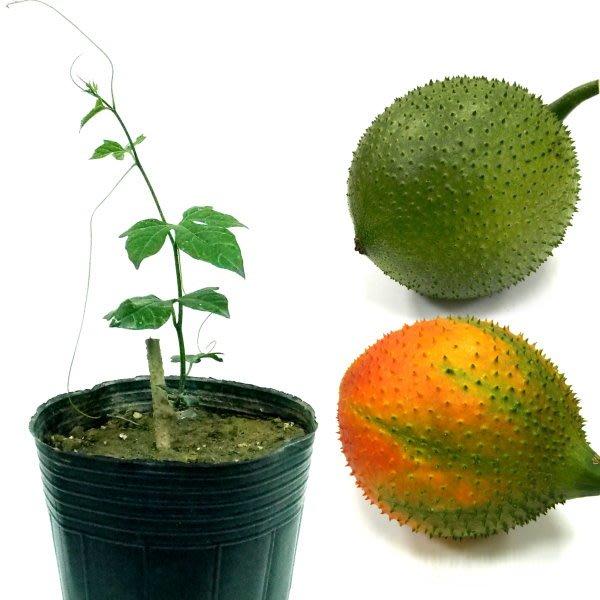 木鱉果苗-越南種