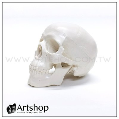 【Artshop美術用品】藝用人體解剖模型 1:2 骷髏頭  頭骨素體白胚
